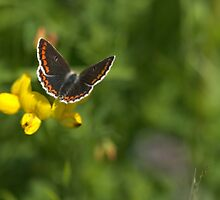 Brown Argus by ncp-photography