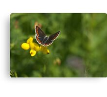 Flora - Brown Argus Canvas Print