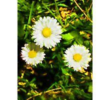 Three Daisies in the Sun Photographic Print