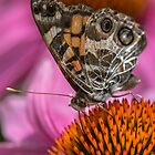 Junonia coenia by Evelyn Laeschke