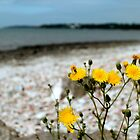 Beach Dandelions by olivizza