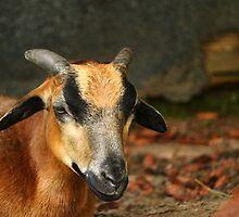 Posing Cameroon Sheep by karina5