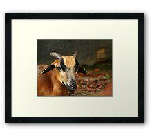 Posing Cameroon Sheep Framed Print
