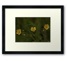 Three Meadow Buttercups - Burntollet Woods, County Derry Framed Print