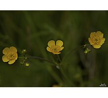 Three Meadow Buttercups - Burntollet Woods, County Derry Photographic Print