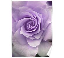 Purple Rose Photograph Poster
