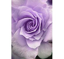 Purple Rose Photograph Photographic Print