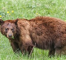 Cinnamon bear by Owed To Nature