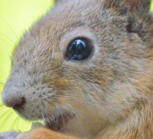 Cute squirrel close-up Sticker
