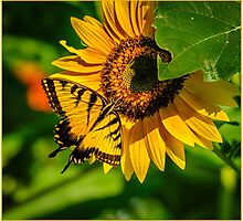 SWALLOWTAIL ON SUNFLOWER Photographic Print