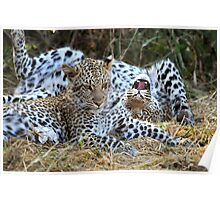 Leopard siblings playtime Poster