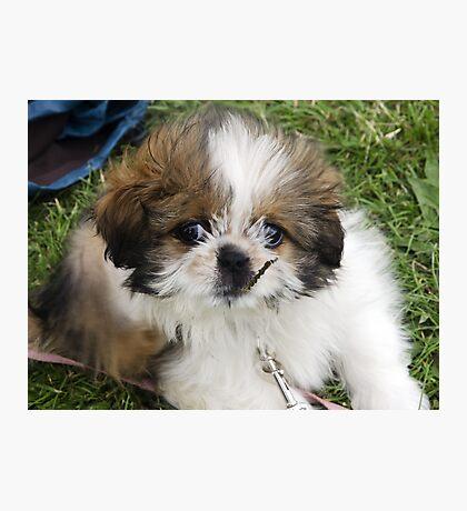Cute Puppy Shih Tsu Photographic Print
