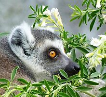 Ring-tailed Lemur Watching His Group by Margaret Saheed