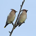 Pair of Waxwings (Bombycilla garrulus) by Gabor Pozsgai