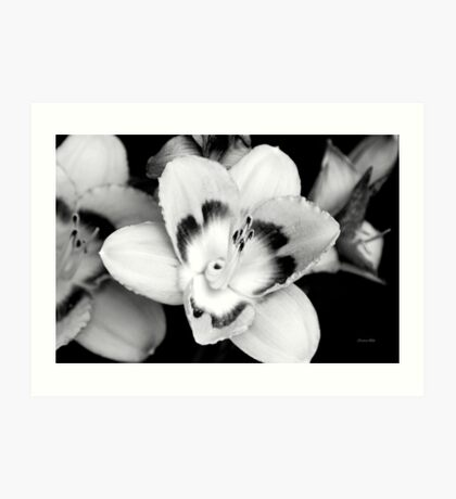 Black and White Lily Flower Art Print