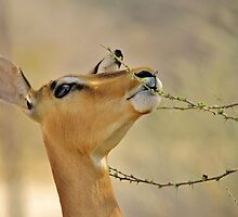 Impala - Pleasure of Food - African Wildlife Background by LivingWild