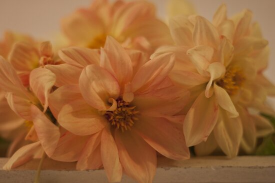 Peachy Dahlias by Sandra Foster