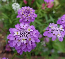 Pretty purple garden flowers by naturematters