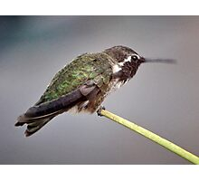 MALE HUMMINGBIRD ANNA'S CHEWING OUT A  YOUNGSTER Photographic Print