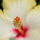 Close Up of Stamen And Pollen Yellow Hibiscus by taiche