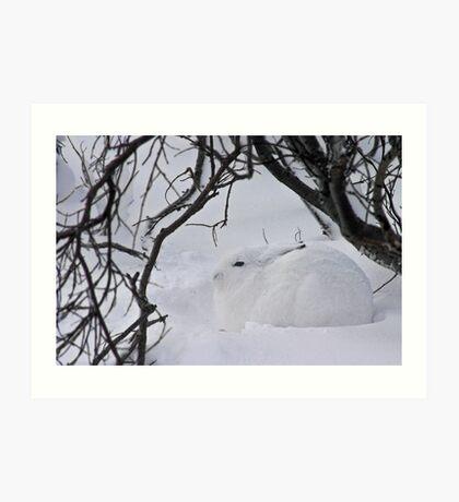 Arctic hare hunkered down Art Print