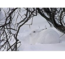 Arctic hare hunkered down Photographic Print