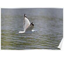 Skimming Gull Poster