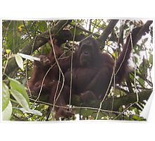 Orangutan Family - Borneo Poster