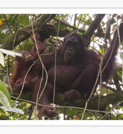 Orangutan Family - Borneo Sticker