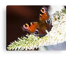 English Butterfly  Canvas Print