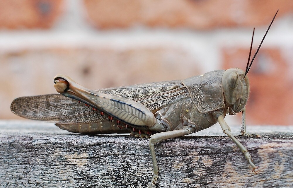 Grasshopper on the Fence :) by peasticks