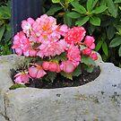 Peach Begonia by Fara