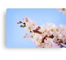 Pink spring blossom Canvas Print