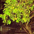 Green Oranges at night in an old tree by Haunted House by alan barbour