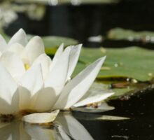 White water lily Sticker