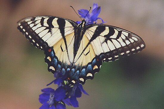 Tiger swallowtail butterfly by David Chesluk