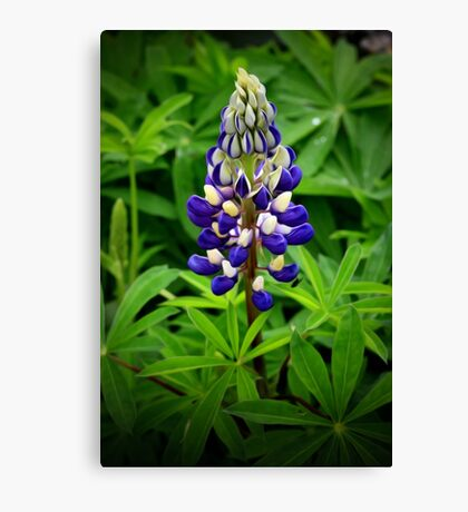 The last lupin Canvas Print