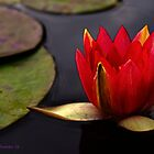 Mission Red Water Lily  by Larry Costales