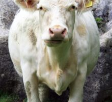 Charolais Cow portrait view/pose head on in a field with rocks in background Sticker