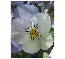 Light Blue Pansy Poster