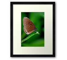 Amazing Brown Butterfly Framed Print