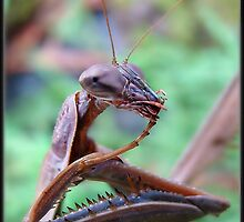 Praying Mantis by Gail Jones