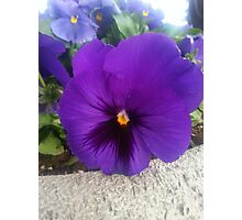 Dark Purple Pansy Photographic Print