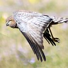 Spotted Harrier , by Trish Threlfall