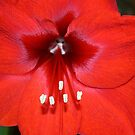 Amaryllis (or not)? by RedHillDigital