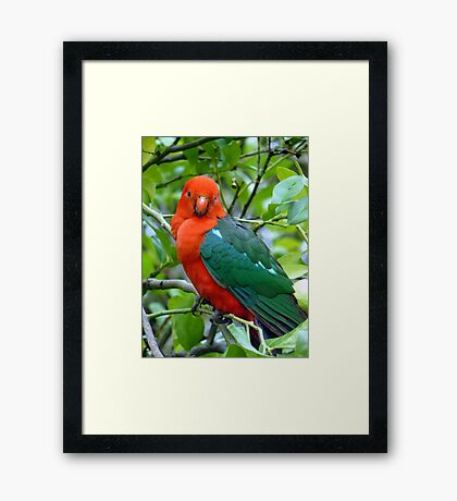 Australian Native King Parrot Framed Print