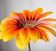 Sunburst bloom by Taylor Thomson