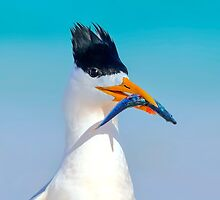 Crested Tern with Fish by Georgina Steytler