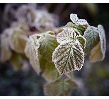 Frozen rasberry leaves Photographic Print