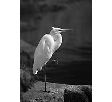 Great Egret in Black and White Photographic Print